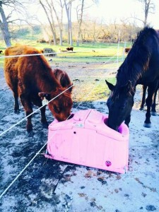 Horse and a cow sharing a pink 202 JUG Waterer